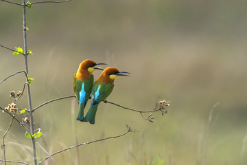 Beautiful bird  Chestnut-headed Bee-eater