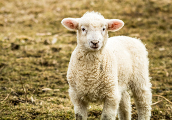 Small little lamb (Ovis Aries) looks up from the field on a late afternoon winter day