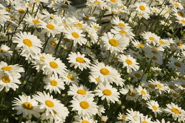 Shasta daisies blooming in park;  Ketchikan, Alaska