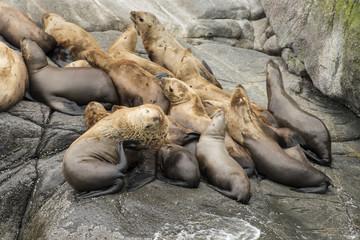 Steller sea lions resting on rocks;   Alaska