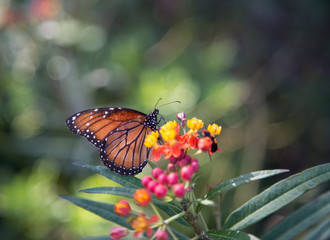 One Monarch butterfly