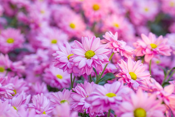 Chrysanthemum pink flowers in the garden.