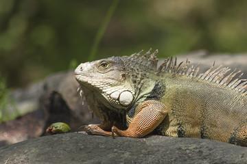 The iguana in the wild