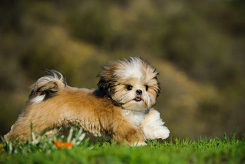 Shih Tzu dog running through green grass