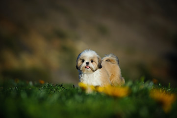 Shih Tzu puppy dog standing in field with spring flowers