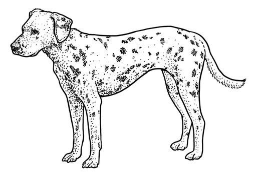 Dalmatian illustration, drawing, engraving, ink, line art, vector