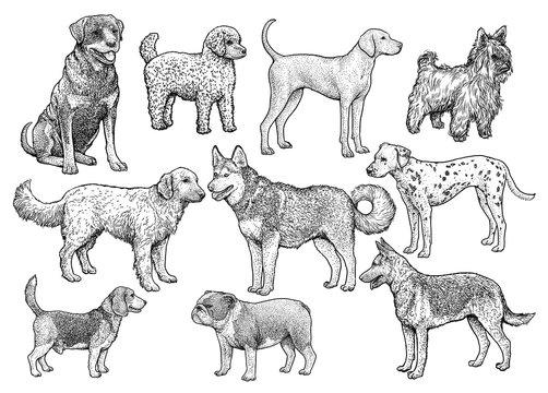 Dog collection illustration, drawing, engraving, ink, line art, vector