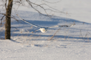 Wall Mural - Snowy Owl Flying Low Over a Snowy Field