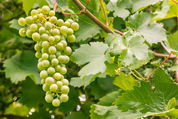 close-up of unripe white grapes growing on vine