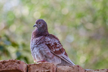 beautiful pigeon bird