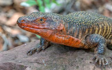 giant plated lizard sunning itself