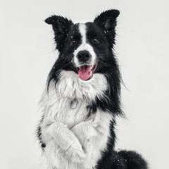 Cute portrait of black and white border collie