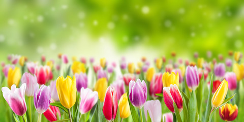 Tulip flowers meadow, spring background