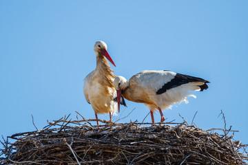 Pareja de cigüeñas blancas en el nido. Ciconia ciconia.