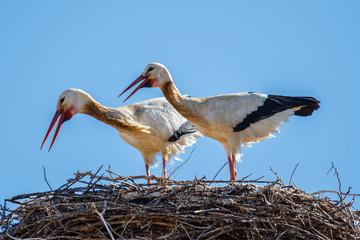 Cigüeñas blancas en el nido. Ciconia ciconia. Crotoreo.