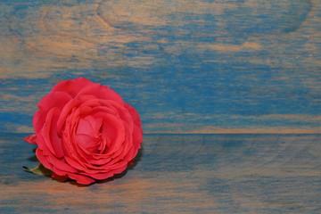 красивая розовая роза на фоне синих деревянных досок