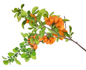 blossoming isolated orange pomegranate lush branch