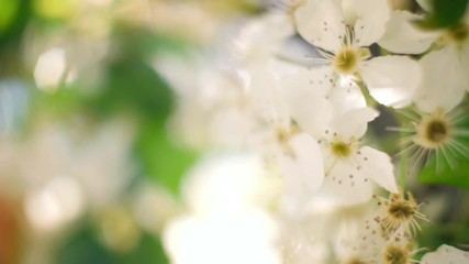Wall Mural - Flowering bloom of apple tree blossoming flowers in garden, closeup. Shallow DOF, 4K UHD.