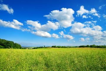 Wall Mural - Landschaft im Frühling, Feld mit Raps, blauer Himmel, Cumuluswolken, frisches Grün