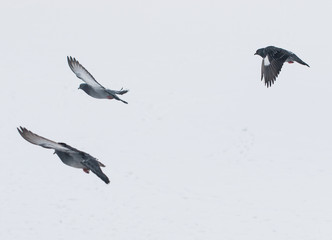 pigeons on white snow