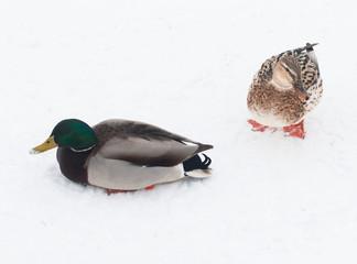 ducks on white snow