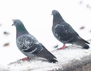 pigeons on white snow
