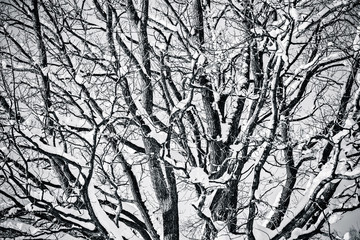 Snow covered oak tree in black and white