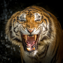 The face of a tiger roaring.