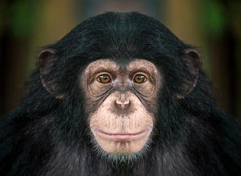 chimpanzee  face .