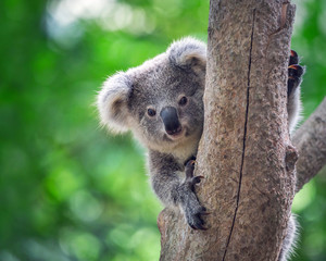 Photo sur Toile Koala Koala Bear in zoo.