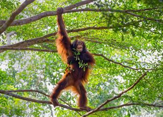 Orangutan on the tree. Fotomurales