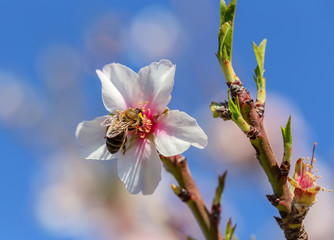 Almond blossoming flowers in a garden in Portugal.