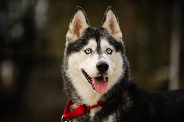 Siberian Husky dog outdoor portrait with red collar