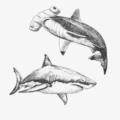 Set of hand drawn sharcks. Vector illustration of White shark and Hammerhead shark