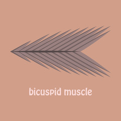 Flat bicuspid muscle