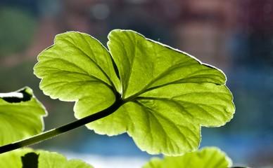 emerald green geranium leaf through translucent by the sun