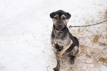 a stray dog sits on a chain in a shelter