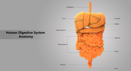 Human Digestive System Detailed Labels Anatomy