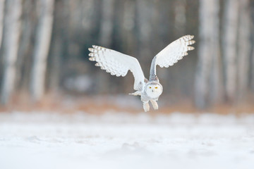 White snow owl fly. Beautiful fly of snowy owl. Snowy owl, Nyctea scandiaca, rare bird flying on the sky. Winter action scene with open wings, Finland. White owl in fly, landing. Larch winter forest.