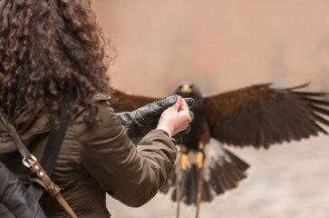 Trained red winged buzzard