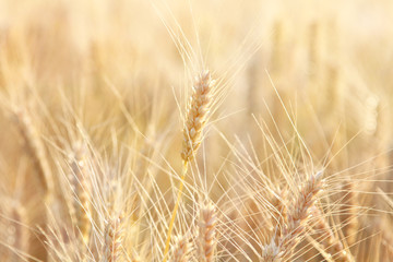Dry stalk of wheat close up in sunlight