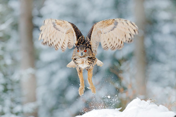 Wall Mural - Owl start from snow. Flying Eurasian Eagle owl with open wings with snow flake in snowy forest during cold winter. Wildlife Europe, Germany. Owl in nature habitat. Bird action scene.