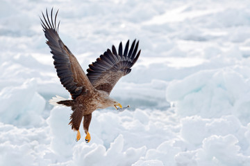 Wall Mural - Big eagle with fish, snow sea. Flight White-tailed eagle, Haliaeetus albicilla, Hokkaido, Japan. Action wildlife scene with ice. Eagle in fly. Eagle fight with fish. Winter scene with bird of prey.