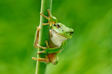 Fotobehang Kikker European tree frog, Hyla arborea, sitting on grass straw with clear green background. Nice green amphibian in nature habitat. Wild frog on meadow near the river, habitat.