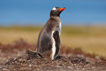 Nesting penguin on the meadow. Gentoo penguin in the nest wit two eggs, Falkland Islands. Animal behaviour, bird in the nest with egg. Wildlife scene in the nature. Penguin with eggs in Antarctica.