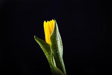 Piękny Zółty tulipan