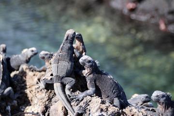 Echsen in der freien Wildbahn auf den Galapagos Inseln
