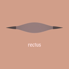 Flat Rectus - didactic board of anatomy of muscular system