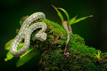 Eyelash Palm Pitviper, Bothriechis schlegeli, on the green moss branch. Venomous snake in the nature habitat. Poisonous animal from South America.  Dangerous snake in the nature habitat.