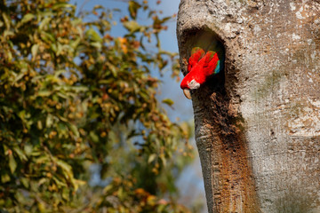 Red-and-green Macaw, Ara chloroptera, in the dark green forest habitat. Big red parrot, fly from nest hole. Beautiful macaw parrot from Panatanal, Brazil. Bird in flight. Action wildlife scene nature.